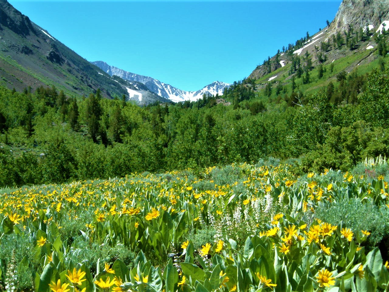 Beautiful Green and Vibrant McGee Creek Mountain Meadow