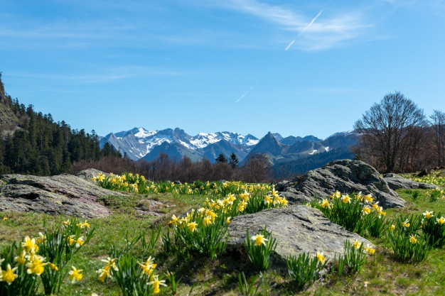 Mountain Meadow in the Spring with Daffodils