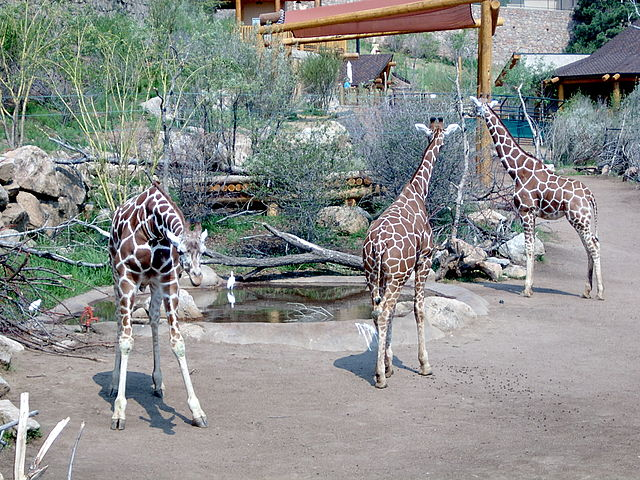 Cheyenne Mountain Zoo - Image Credit: http://en.wikipedia.org/wiki/File:Ch_mtn_zoo_giraffes_2003.jpg