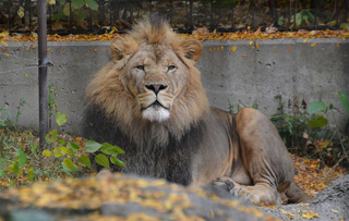 Lion - Image Credit: https://www.flickr.com/photos/joeross/10136644373