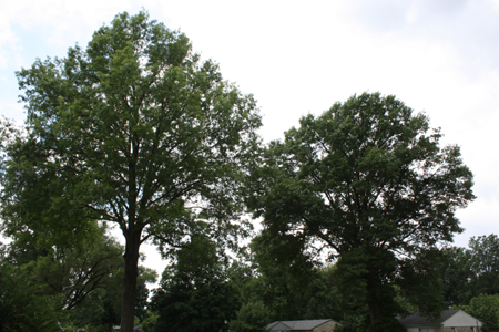 Mature trees with full leaves in Louisville, KY