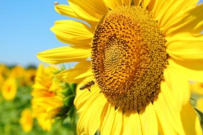 sunflower_400.