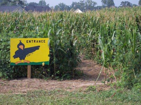 corn_maze_entrance_481