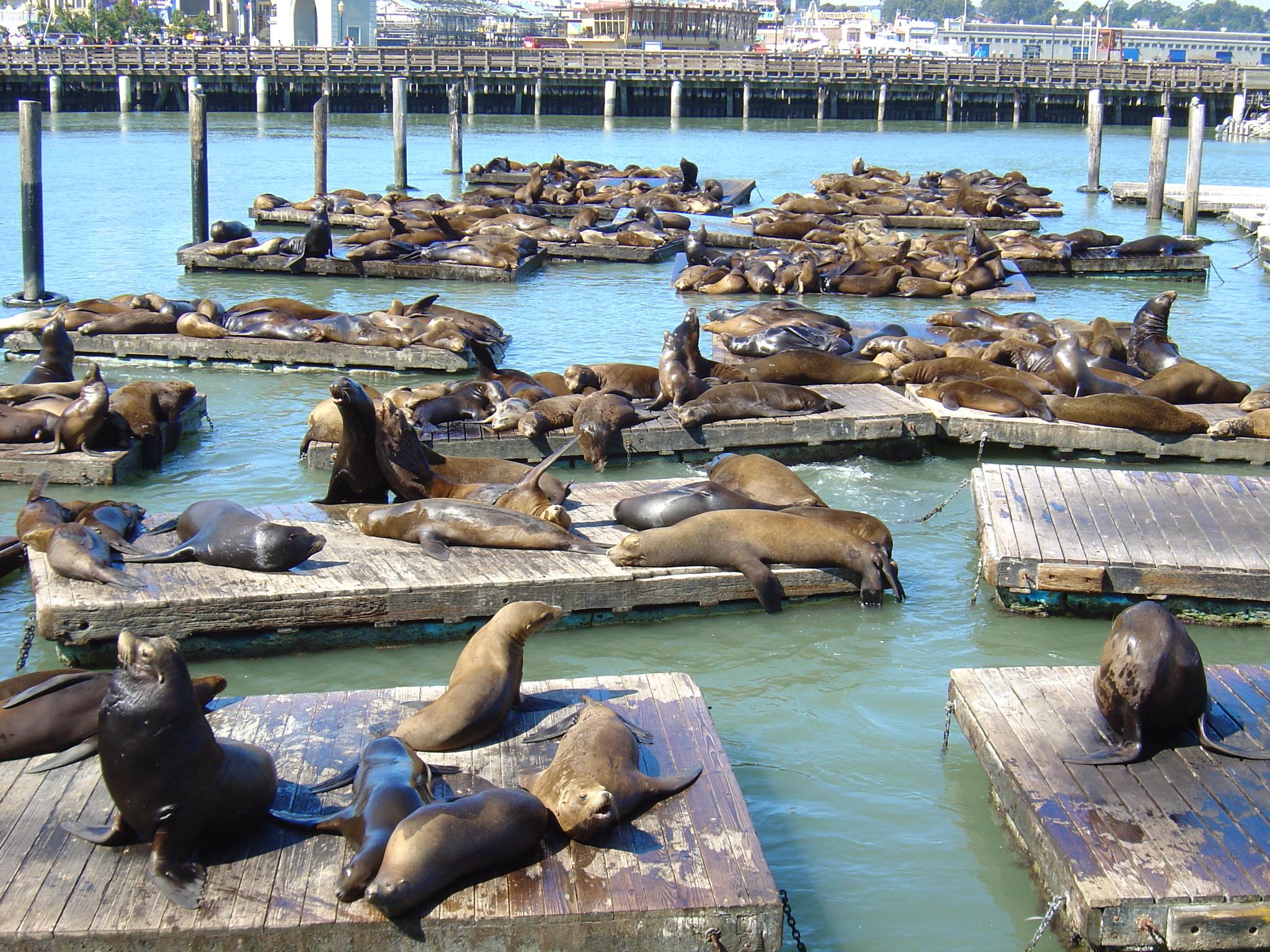 sea_lions_pier_39_san_fran_-_copy_2048