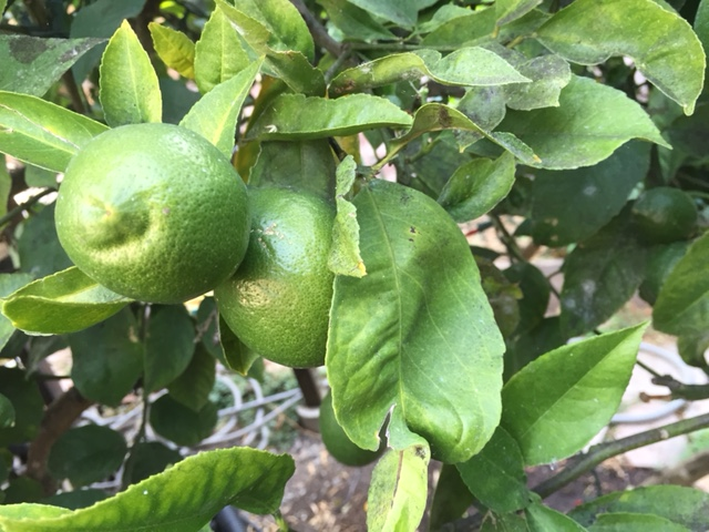 lemon_640