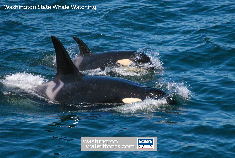 Washington State Whale Watching