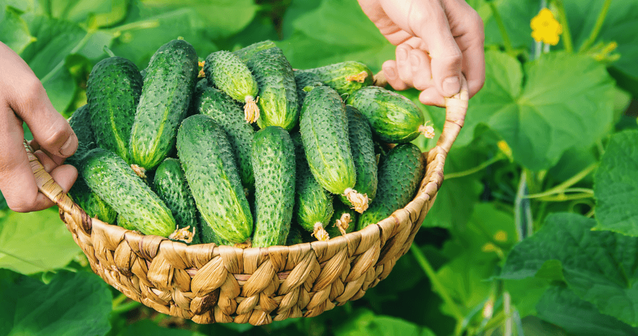 Pet-Friendly Gardening: Tips and Treats Cucumbers Image