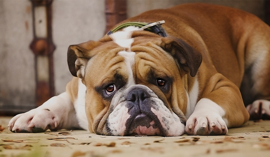 8 Tips For Relieving Doggy Boredom at Home Main Image