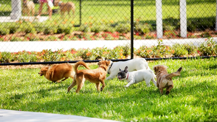 Small dogs enjoy playing with each other in a dog park.