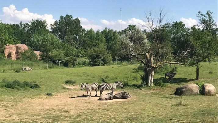 Zebras at the Fort Wayne Children's Zool