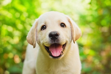 Adorable Labrador retriever puppy