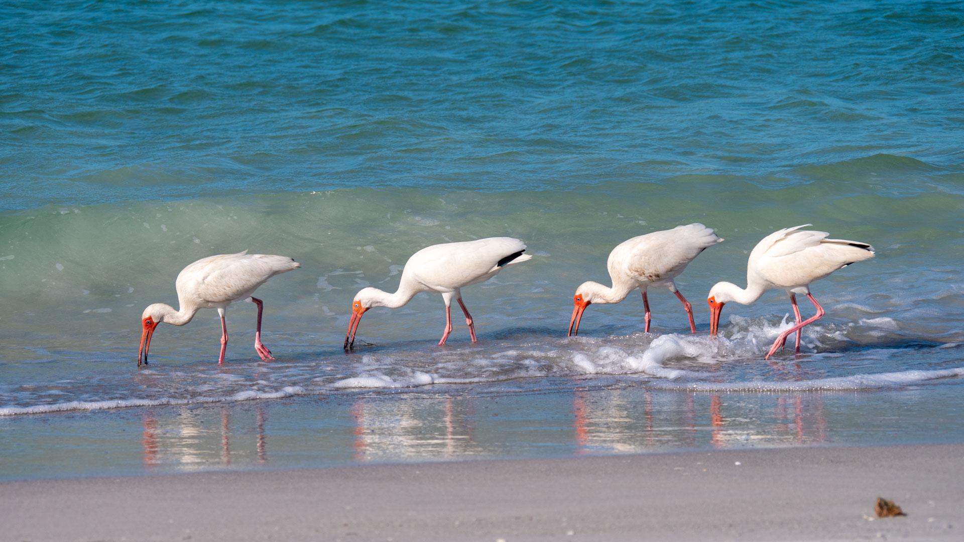 Birds Feeding On Madeira Beach