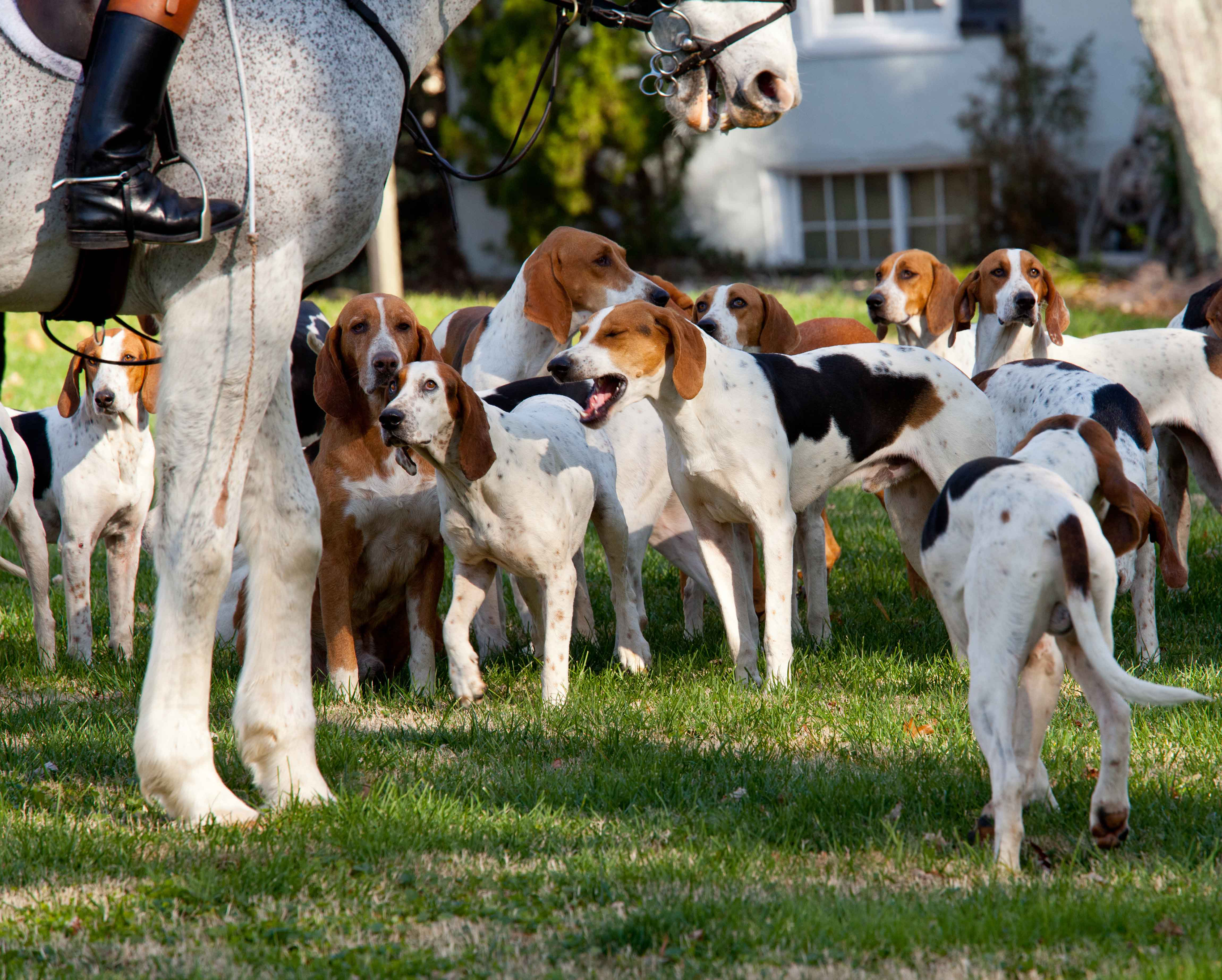 American Foxhounds before a hunt in Middleburg, VA