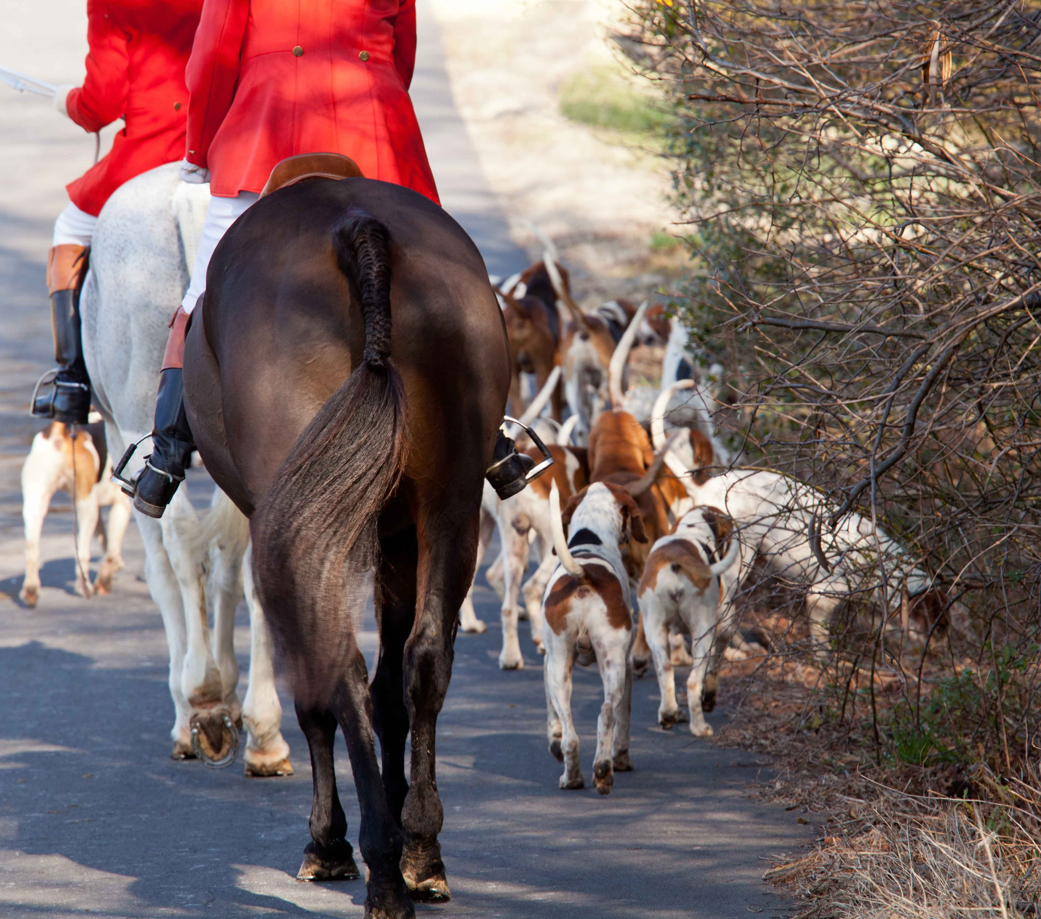 American Foxhounds in Middleburg, VA