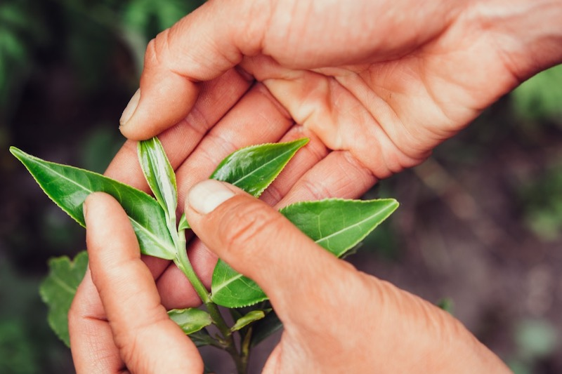 Growing Your Own Tea Plants at Home